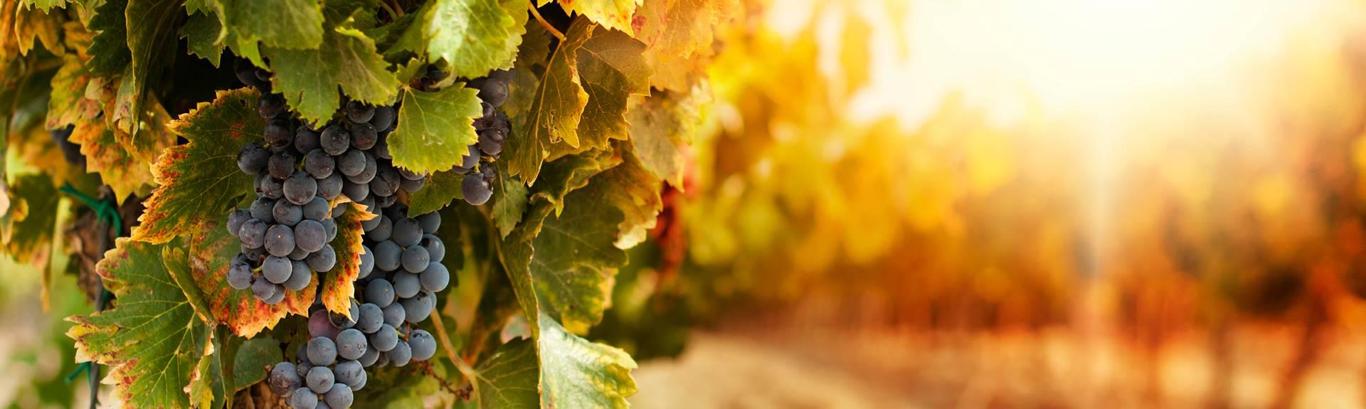 fall - grape vines